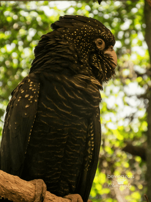 Black and Gold speckled cockatoo