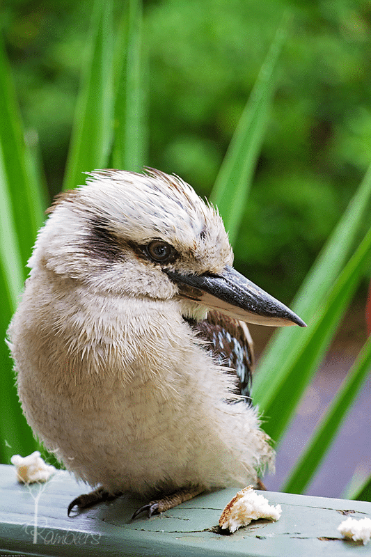 Kookaburra doesnt only sit in the old gum tree